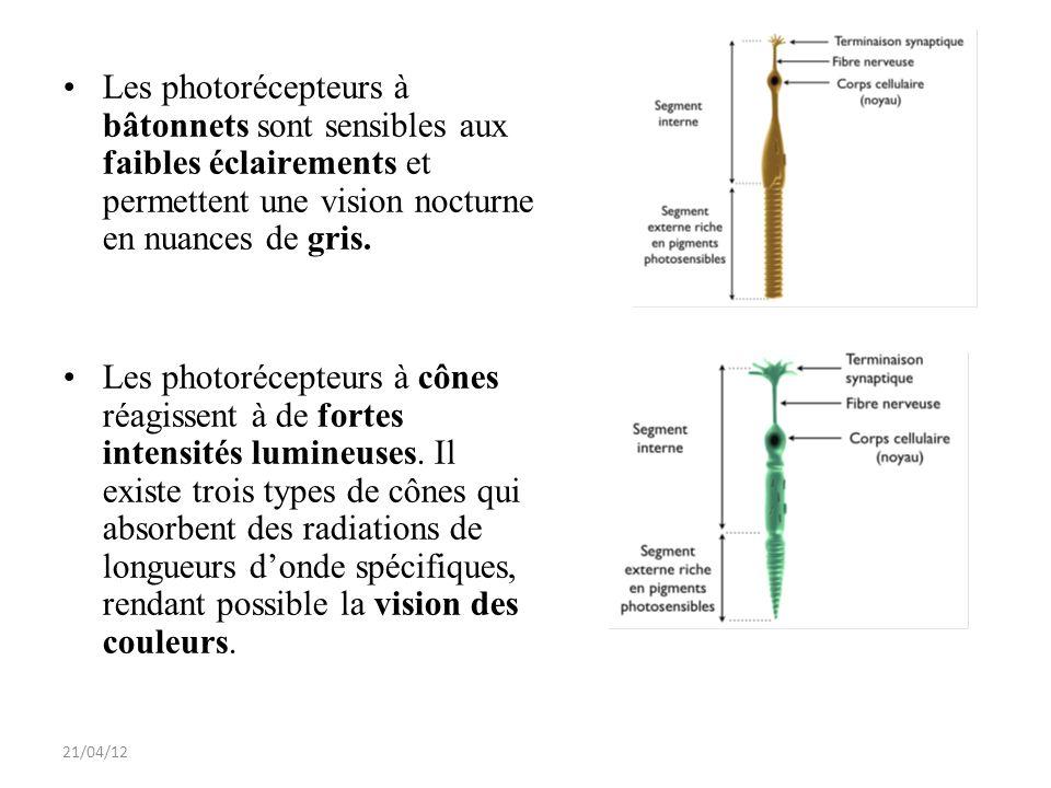 Les photorécepteurs à bâtonnets sont sensibles aux faibles éclairements et permettent une vision nocturne en nuances de gris.