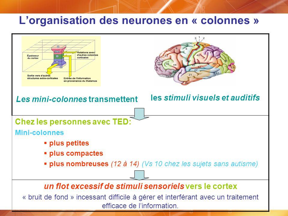 L'organisation des neurones en « colonnes »