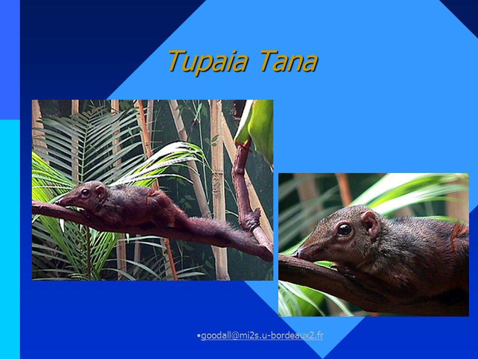 Tupaia Tana