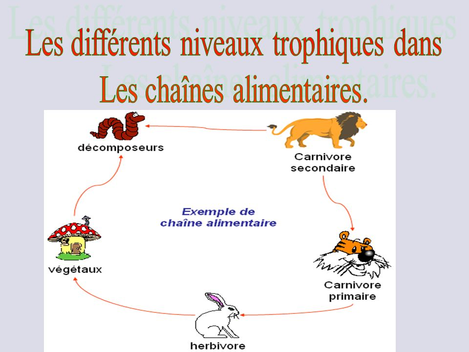 Les différents niveaux trophiques dans Les chaînes alimentaires.