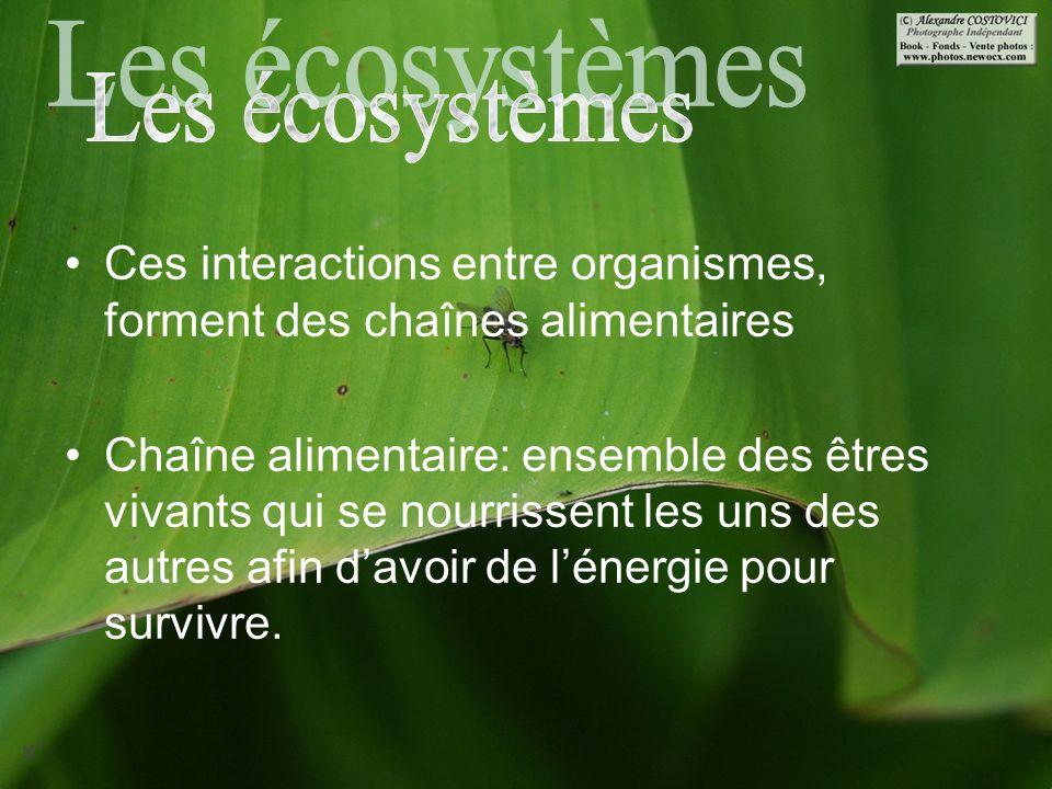 Les écosystèmes Ces interactions entre organismes, forment des chaînes alimentaires.