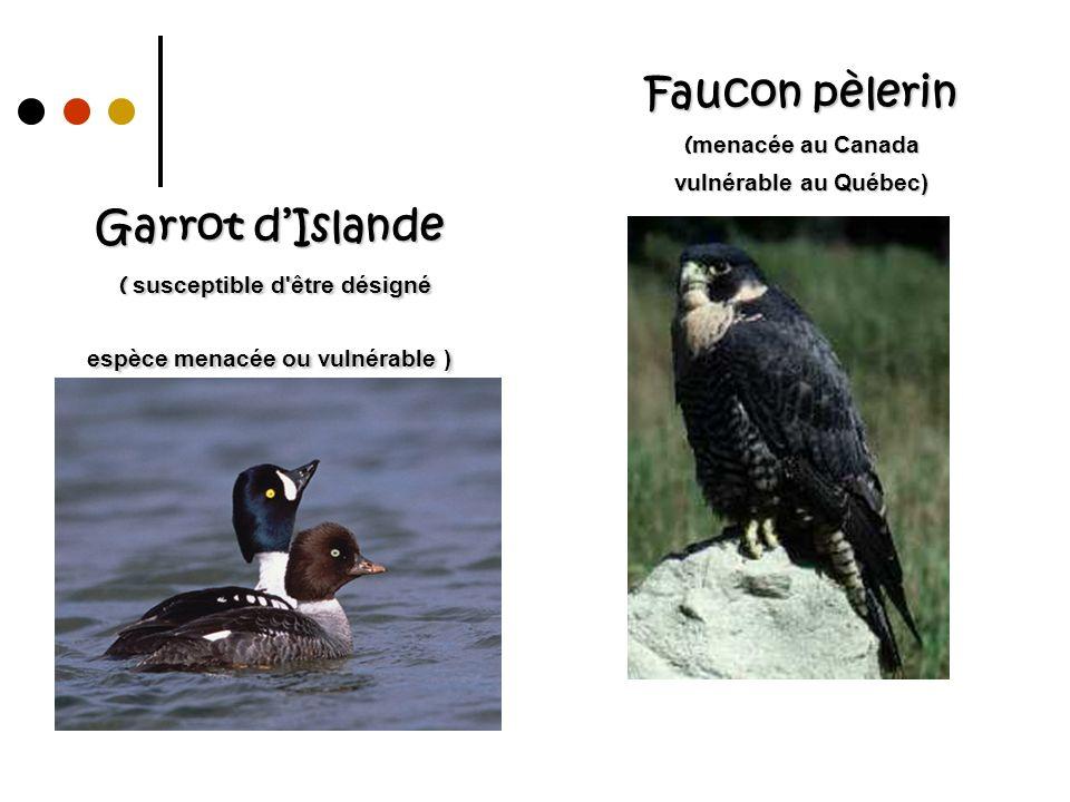 Faucon pèlerin (menacée au Canada vulnérable au Québec)