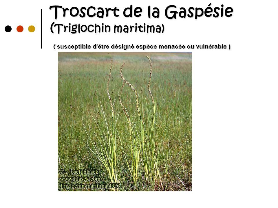 Troscart de la Gaspésie (Triglochin maritima) ( susceptible d être désigné espèce menacée ou vulnérable )
