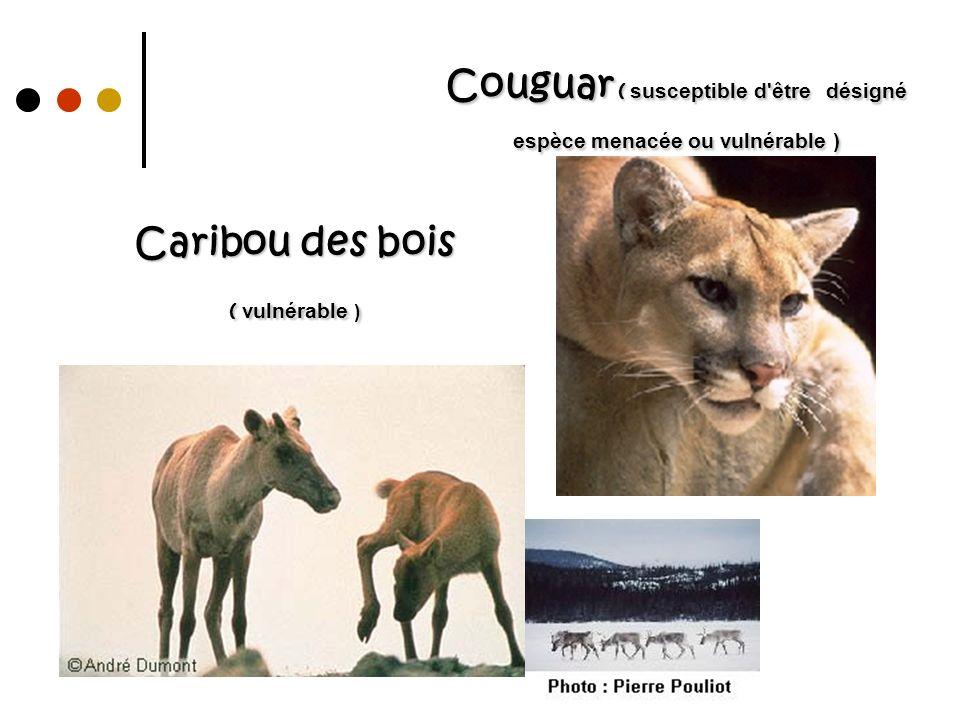 Caribou des bois ( vulnérable )