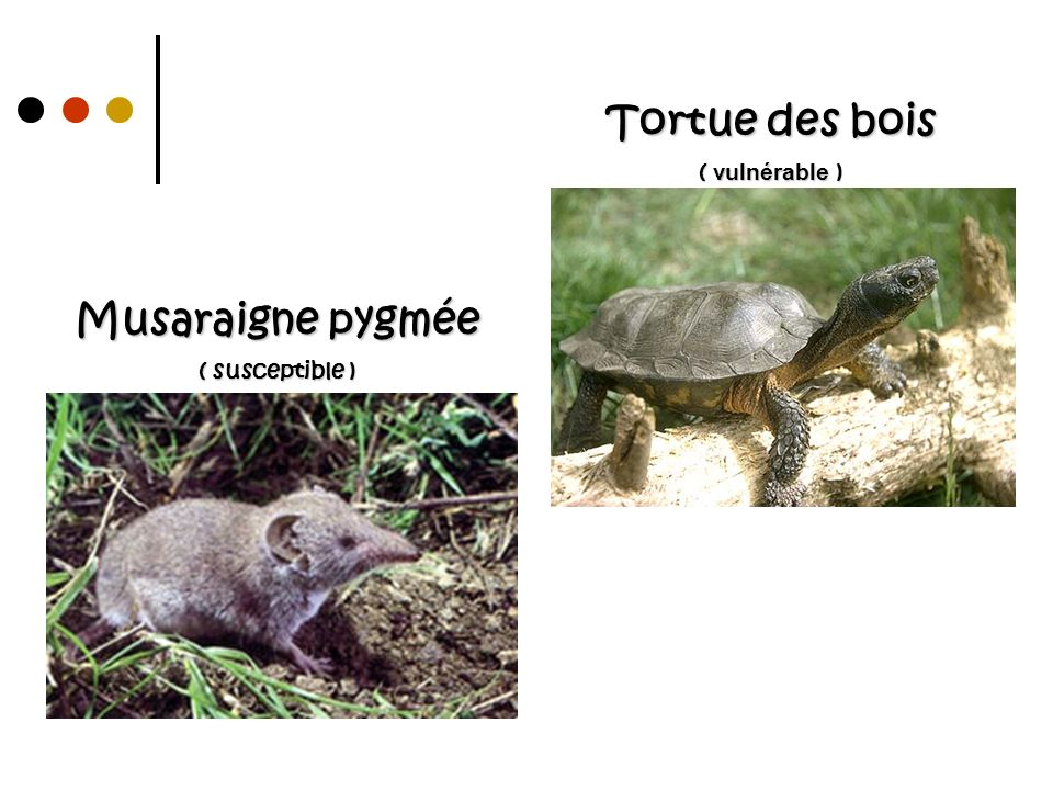Musaraigne pygmée ( susceptible )