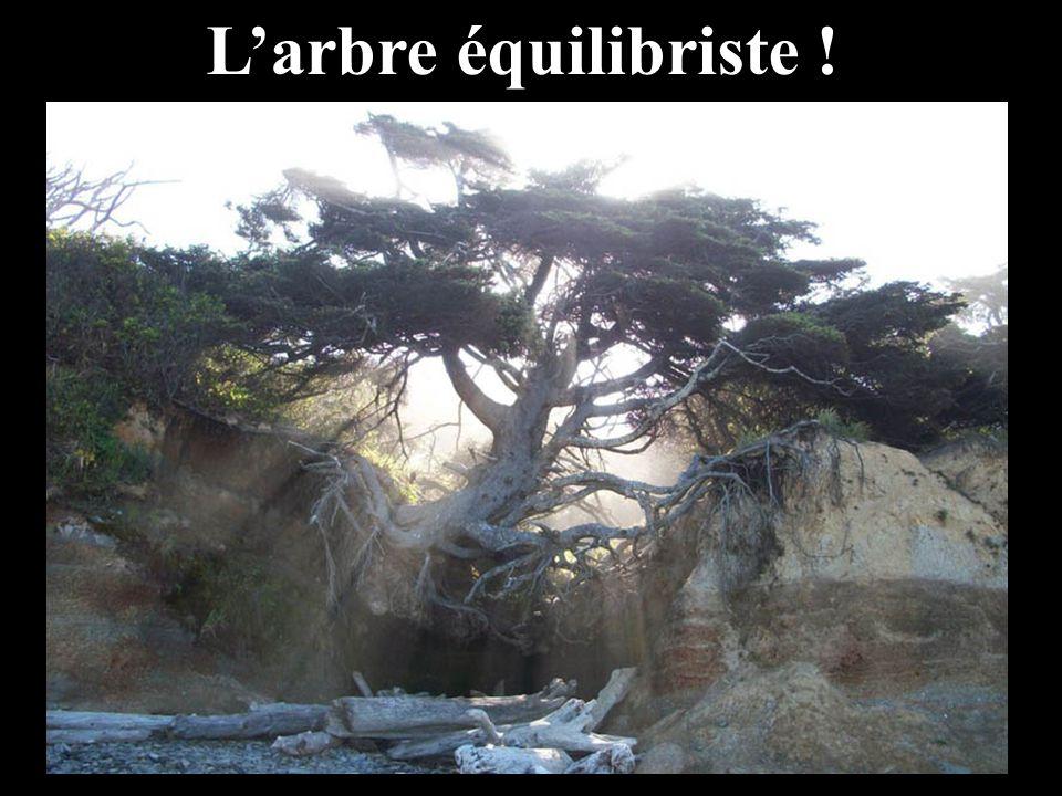 L'arbre équilibriste !