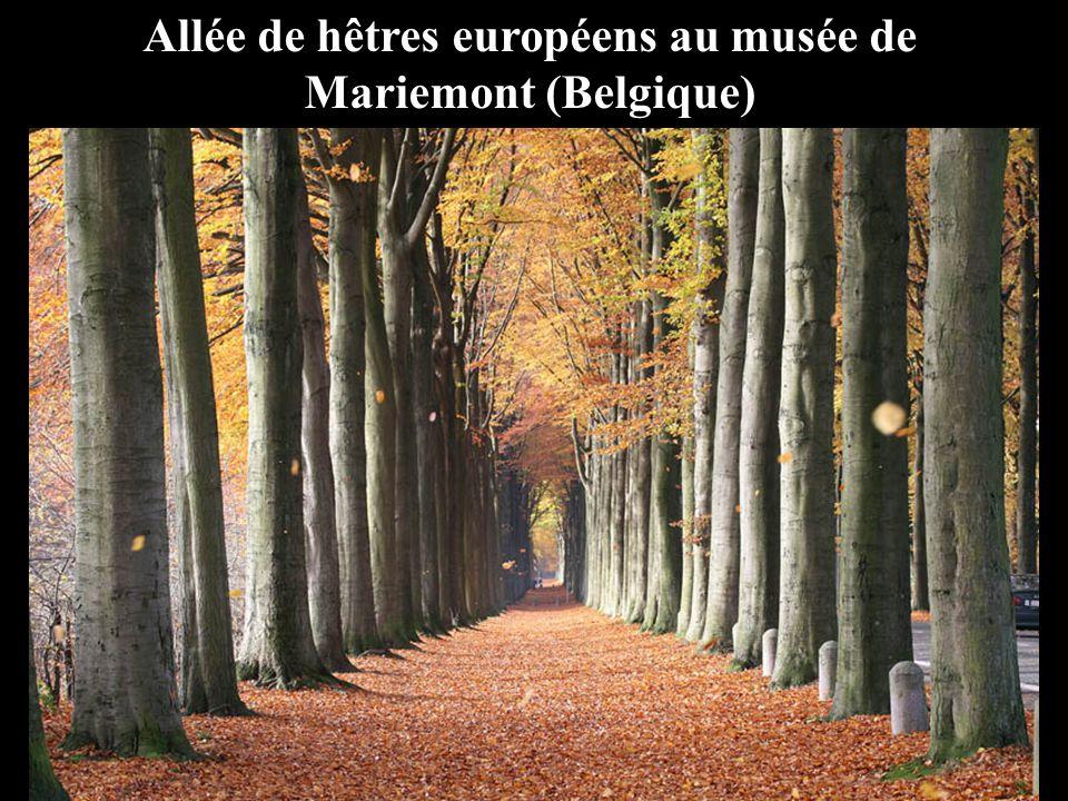 Allée de hêtres européens au musée de Mariemont (Belgique)