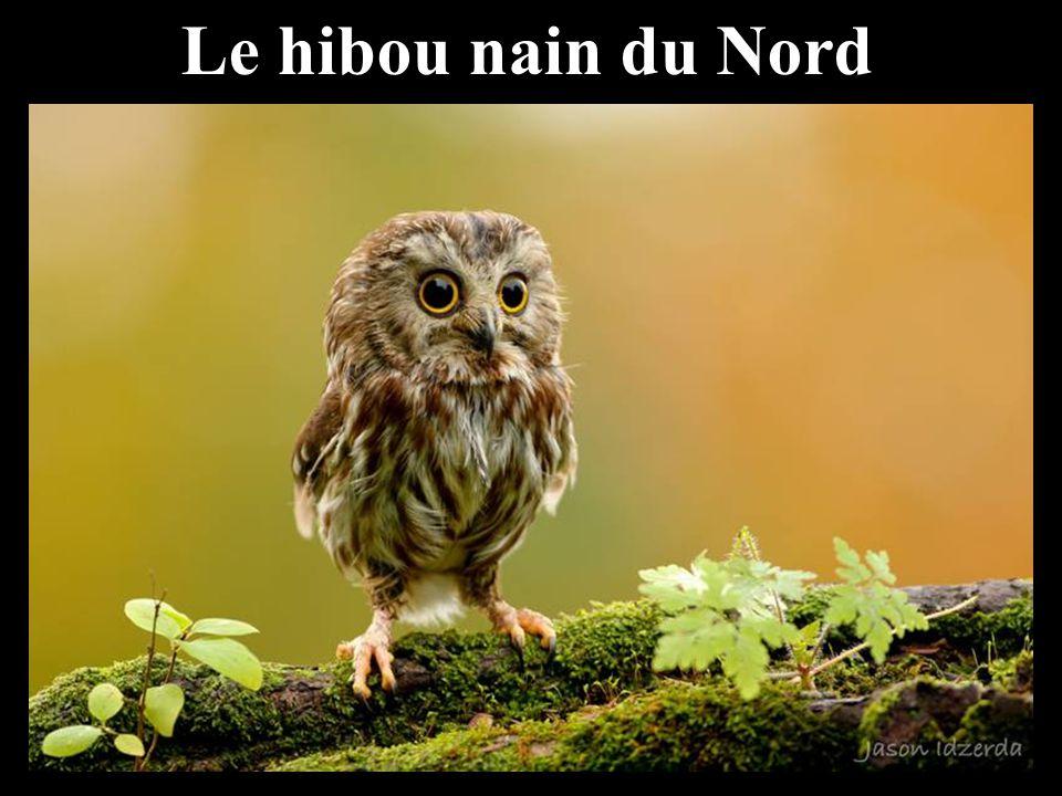 Le hibou nain du Nord