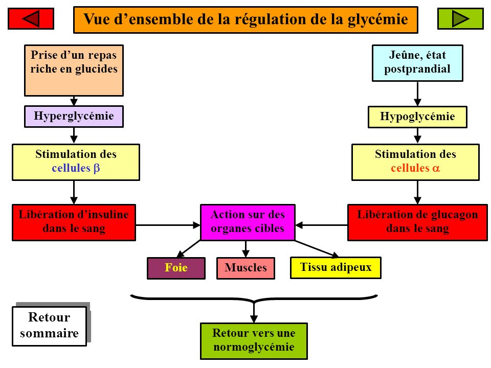 Vue d'ensemble de la régulation de la glycémie