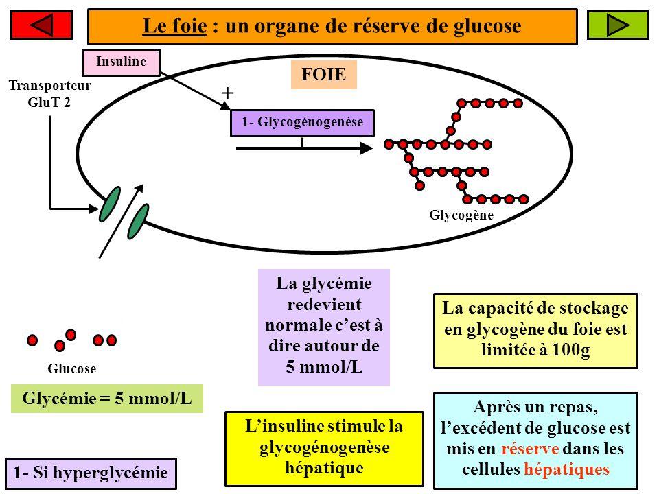 Le foie : un organe de réserve de glucose +