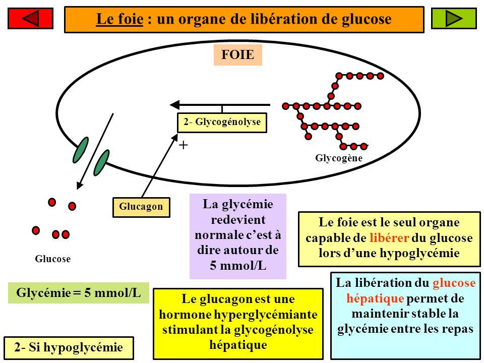 Le foie : un organe de libération de glucose +