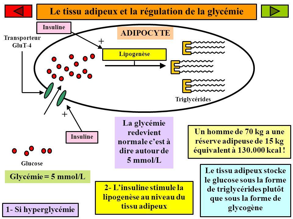 Le tissu adipeux et la régulation de la glycémie + +