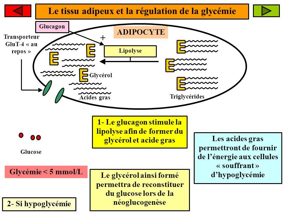Le tissu adipeux et la régulation de la glycémie +