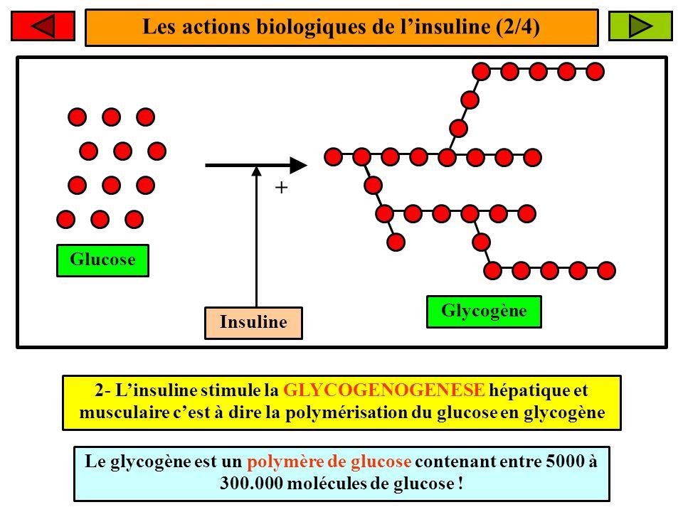 Les actions biologiques de l'insuline (2/4)