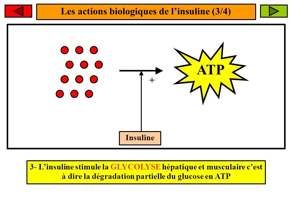 Les actions biologiques de l'insuline (3/4)