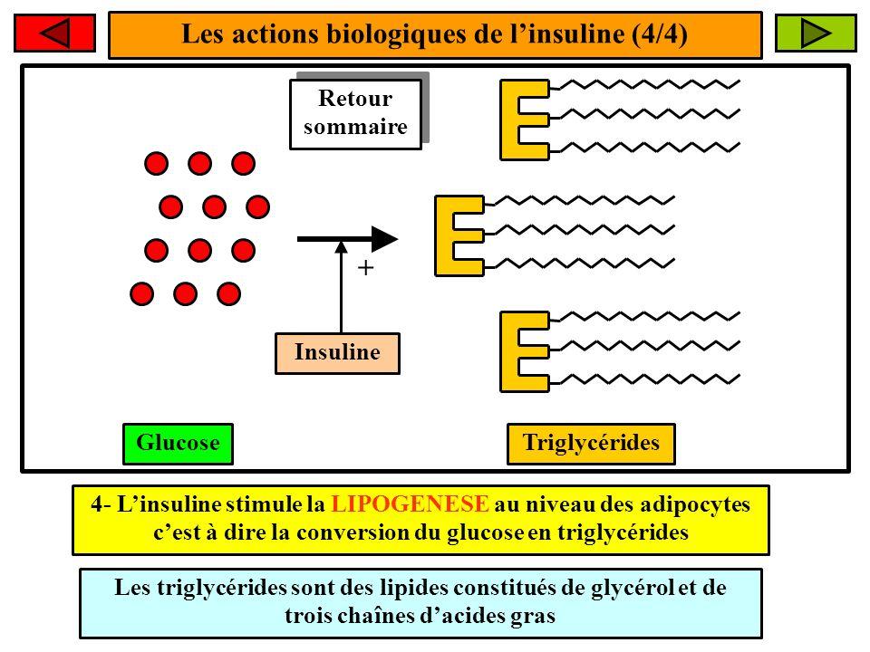 Les actions biologiques de l'insuline (4/4)