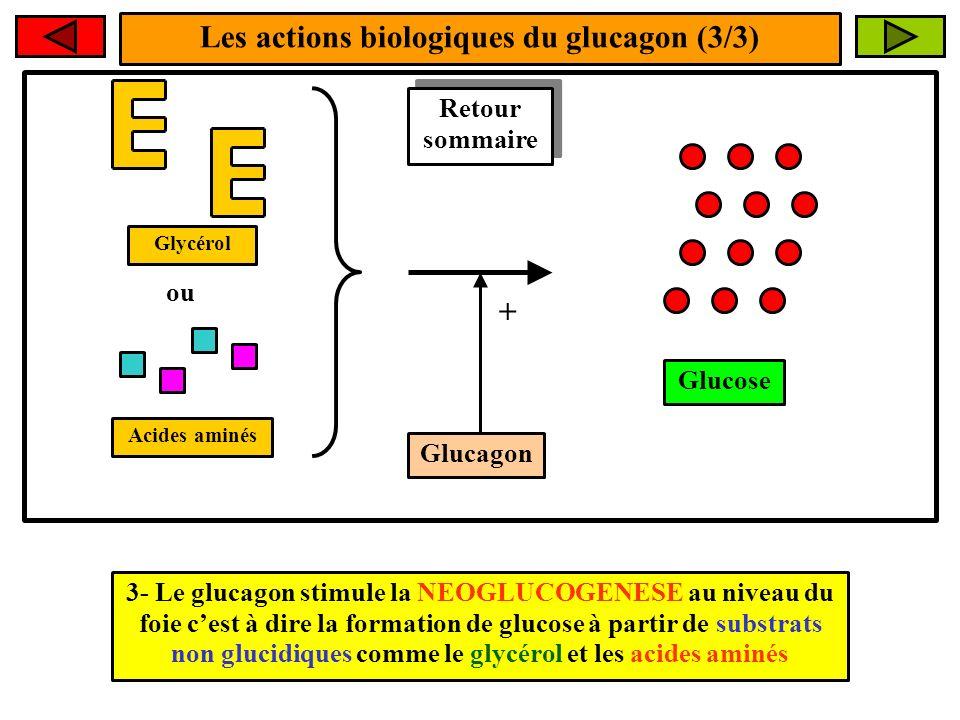 Les actions biologiques du glucagon (3/3)
