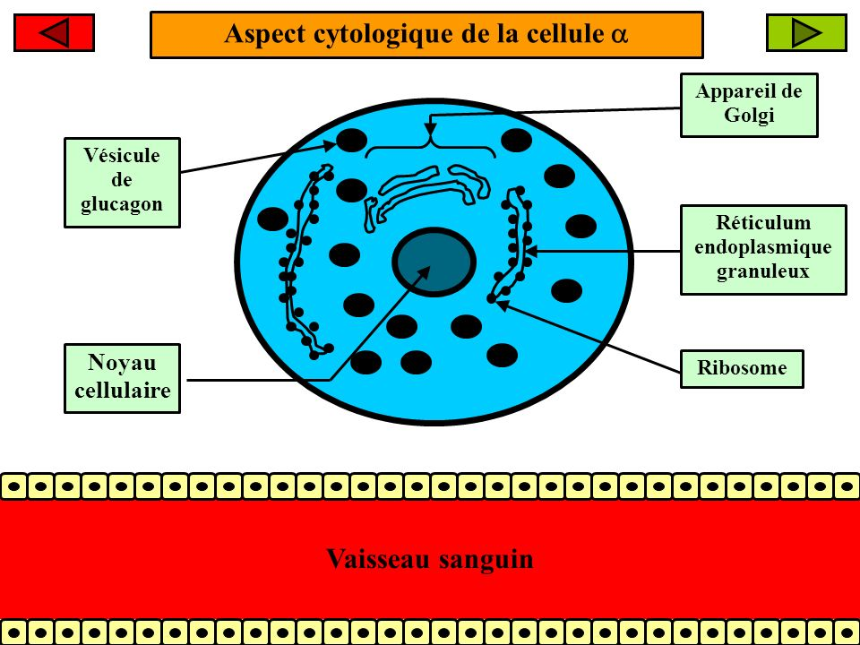 Aspect cytologique de la cellule  Réticulum endoplasmique granuleux