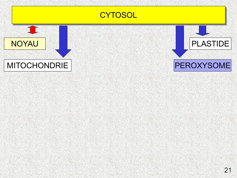Schéma du routage vers peroxysomes