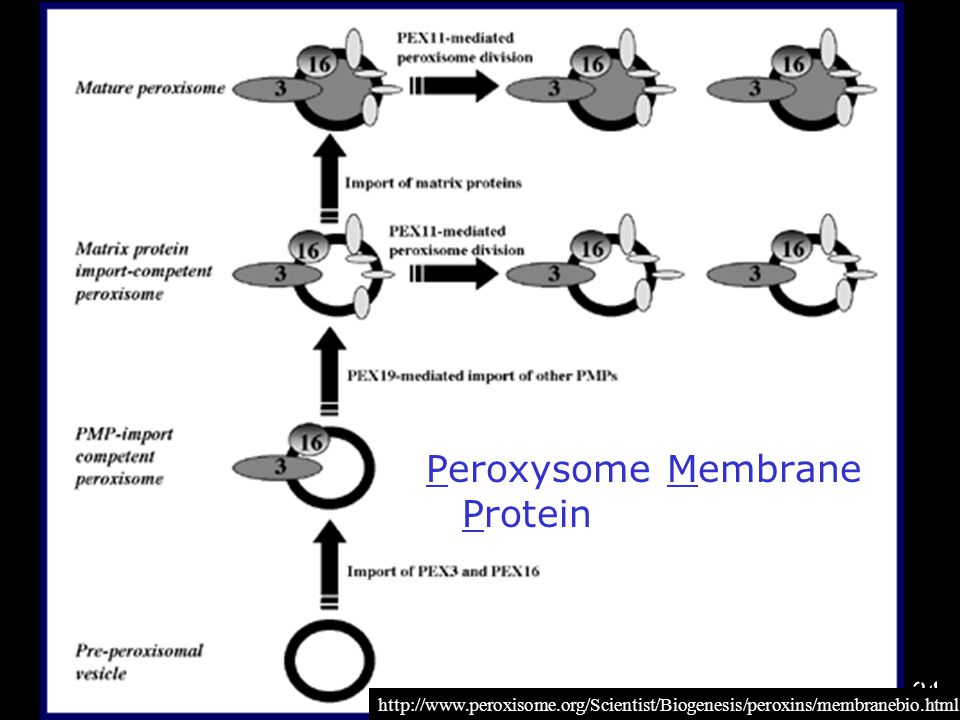 Peroxysome Membrane Protein