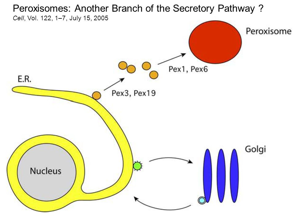 Peroxisomes: Another Branch of the Secretory Pathway