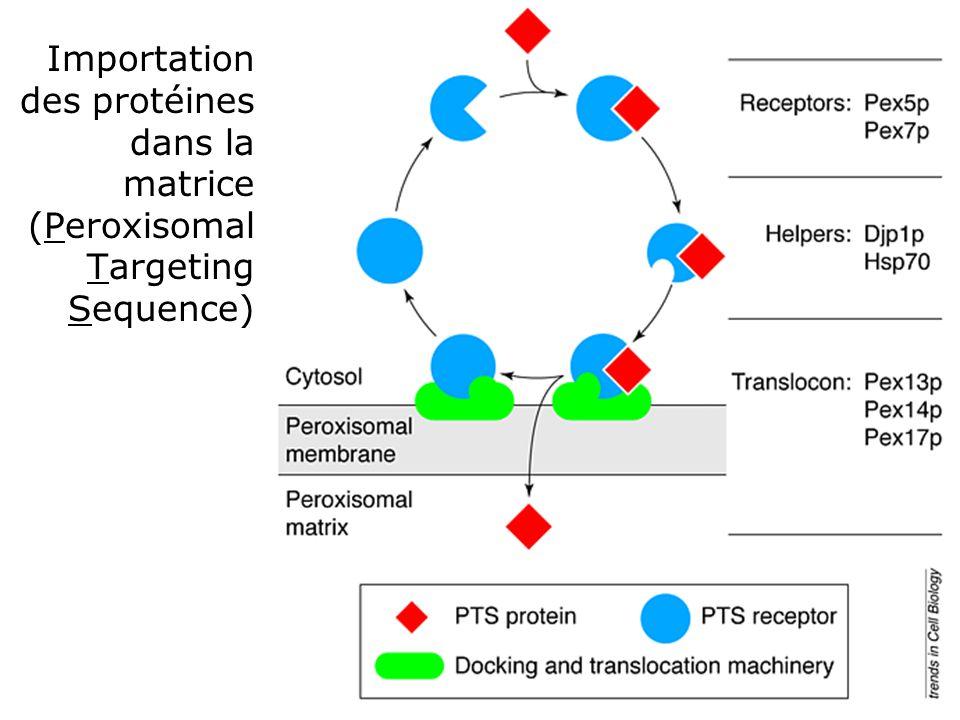 Importation des protéines dans la matrice (Peroxisomal Targeting Sequence)