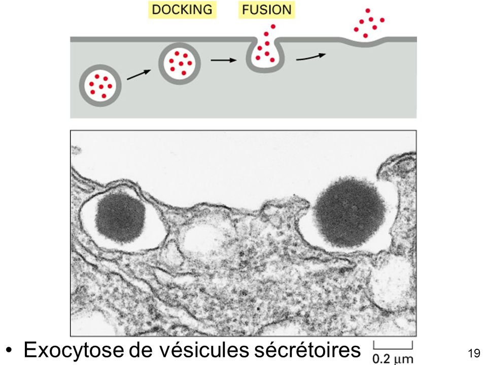 Fig 13-57 Exocytose de vésicules sécrétoires Lundi 15 octobre 2007