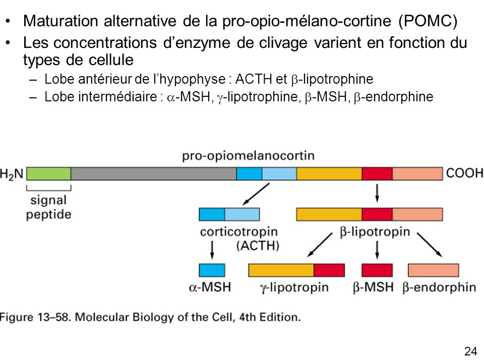 Fig 13-58 Maturation alternative de la pro-opio-mélano-cortine (POMC)