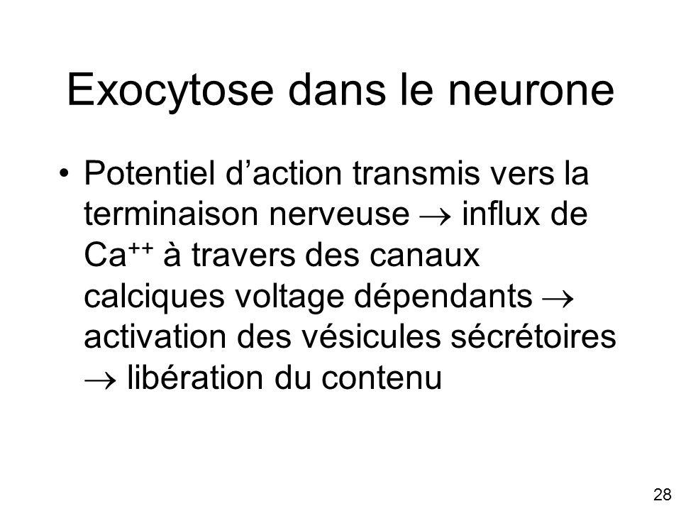 Exocytose dans le neurone