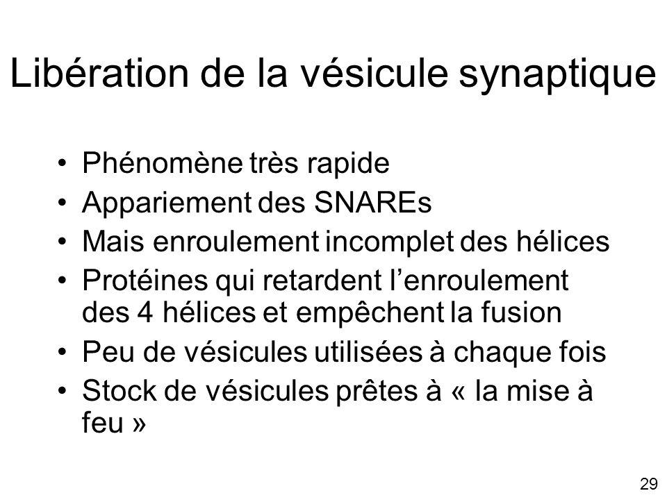 Libération de la vésicule synaptique