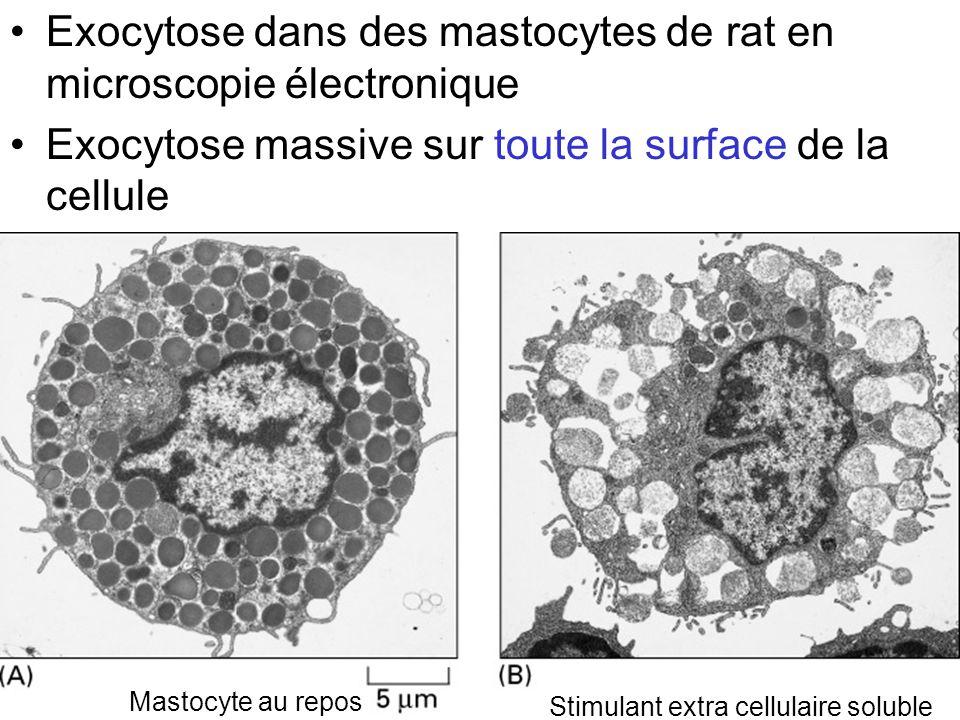 Exocytose dans des mastocytes de rat en microscopie électronique