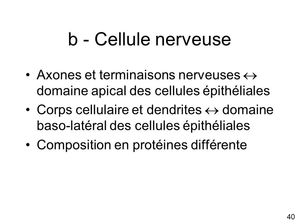 Lundi 15 octobre 2007 b - Cellule nerveuse. Axones et terminaisons nerveuses  domaine apical des cellules épithéliales.