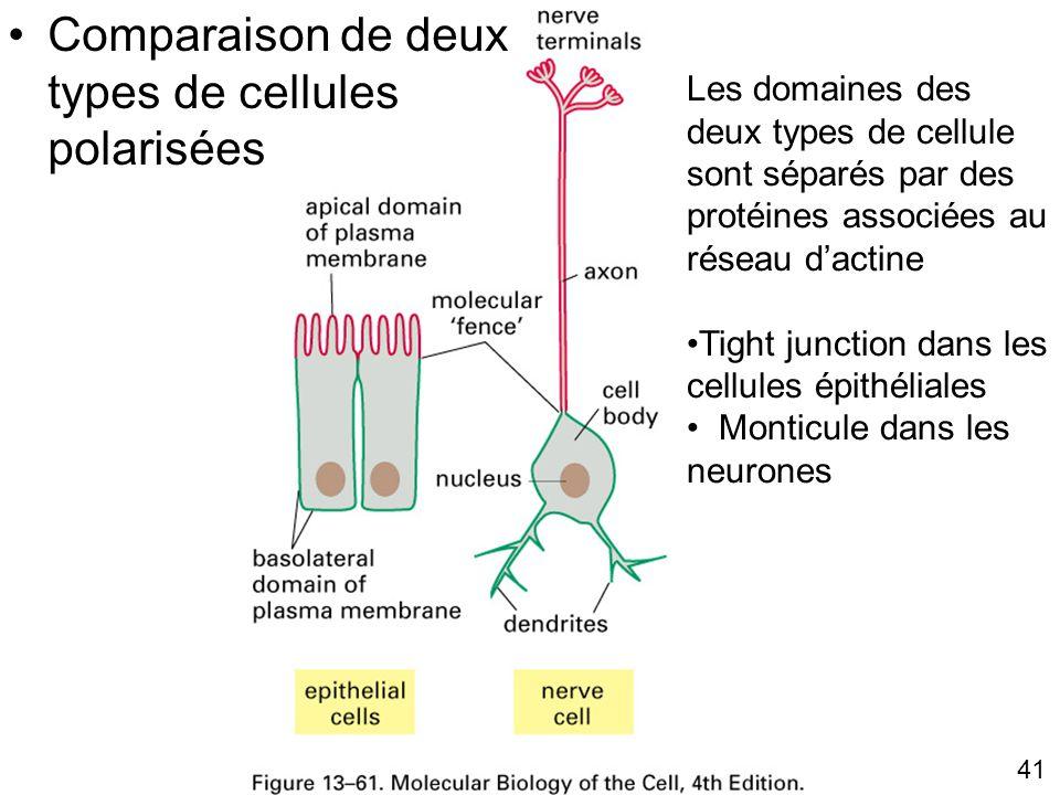 Fig. 13-61 Comparaison de deux types de cellules polarisées