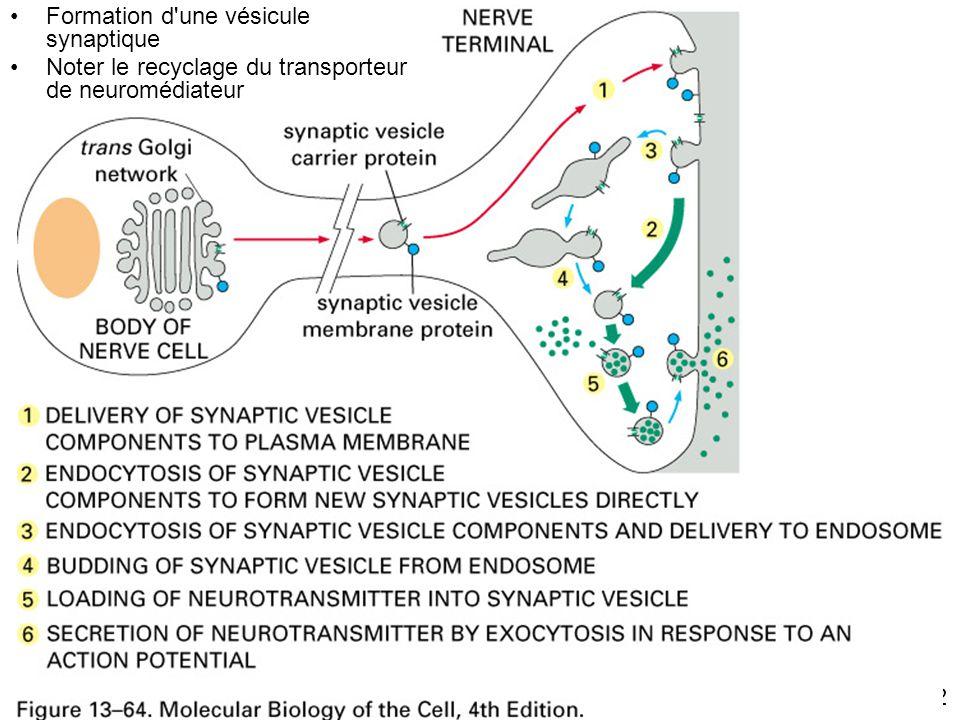 Fig. 13-64 Formation d une vésicule synaptique
