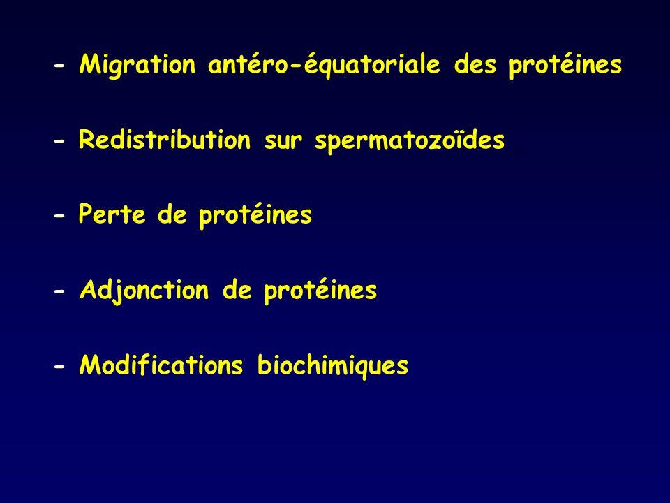 - Migration antéro-équatoriale des protéines