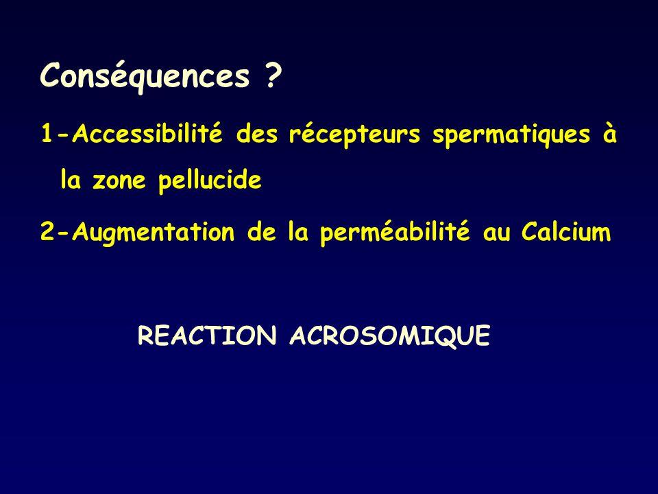 Conséquences 1-Accessibilité des récepteurs spermatiques à la zone pellucide. 2-Augmentation de la perméabilité au Calcium.