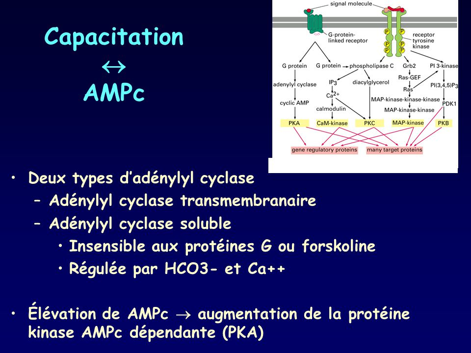 Capacitation  AMPc Deux types d'adénylyl cyclase