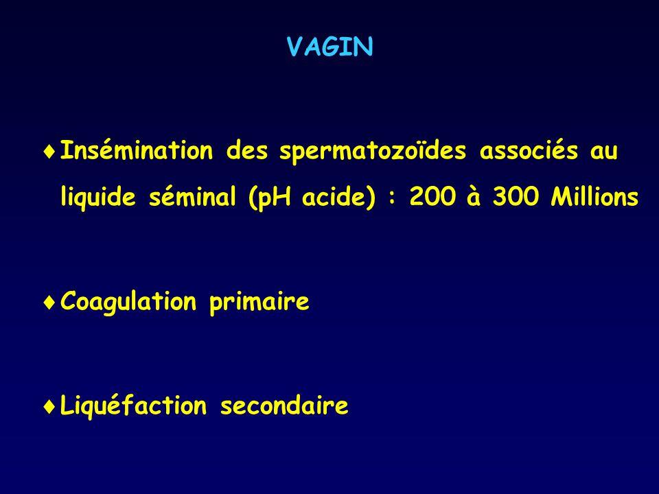 VAGIN Insémination des spermatozoïdes associés au liquide séminal (pH acide) : 200 à 300 Millions. Coagulation primaire.