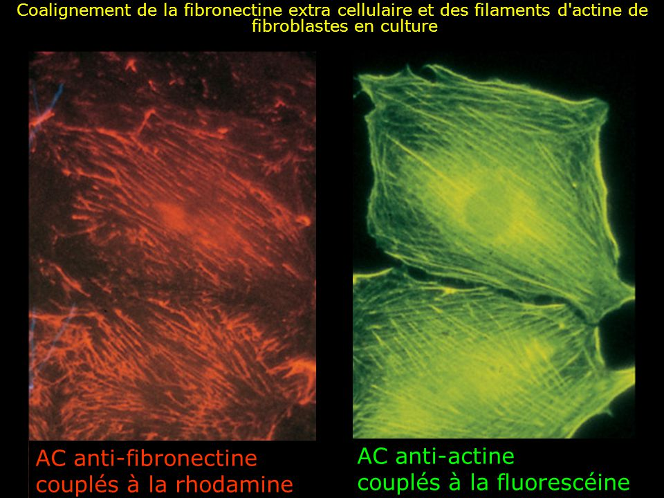 Fig 19-54 AC anti-actine couplés à la fluorescéine