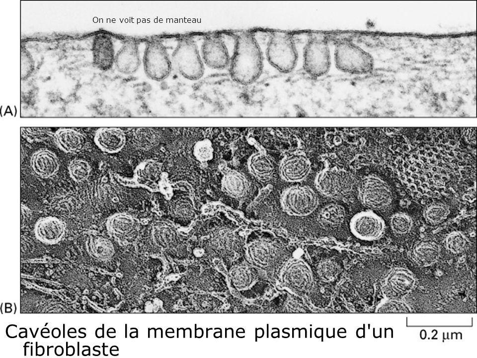 Fig 13-42 Cavéoles de la membrane plasmique d un fibroblaste