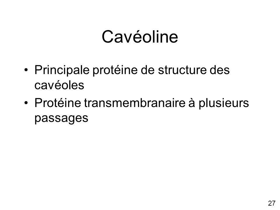 Cavéoline Principale protéine de structure des cavéoles