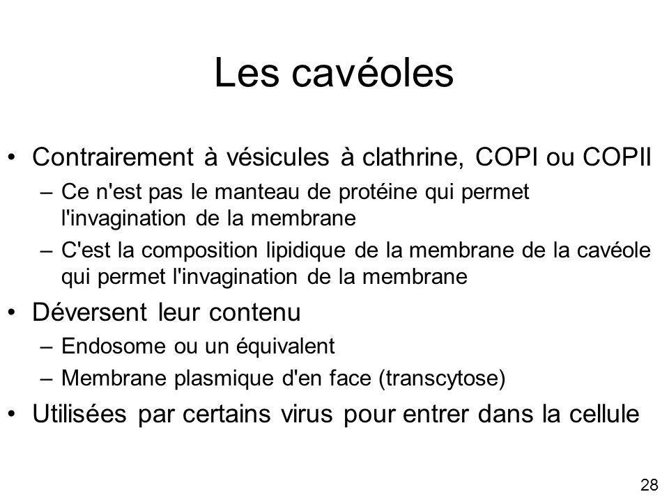 Les cavéoles Contrairement à vésicules à clathrine, COPI ou COPII