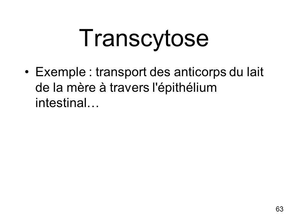 Transcytose Exemple : transport des anticorps du lait de la mère à travers l épithélium intestinal…