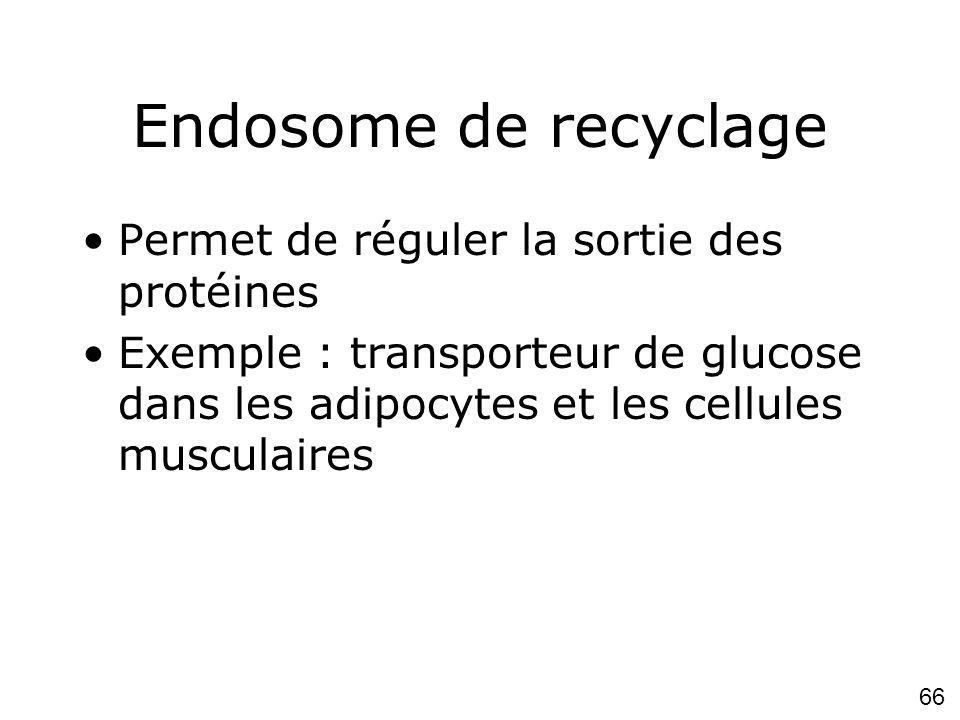 Endosome de recyclage Permet de réguler la sortie des protéines