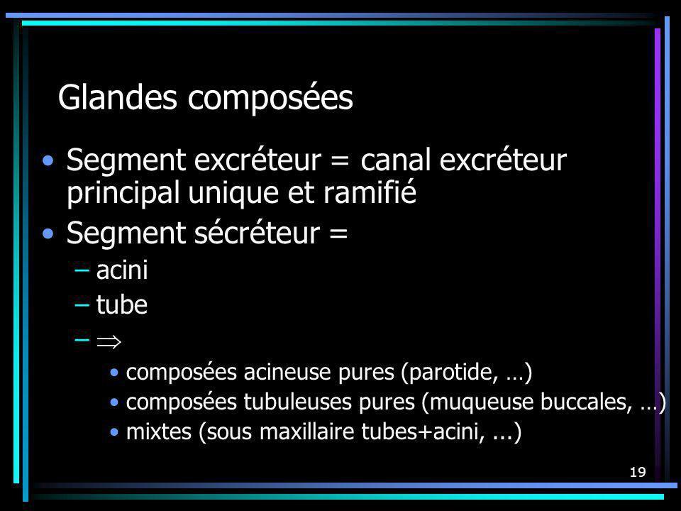 Glandes composées Segment excréteur = canal excréteur principal unique et ramifié. Segment sécréteur =