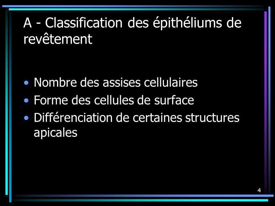 A - Classification des épithéliums de revêtement