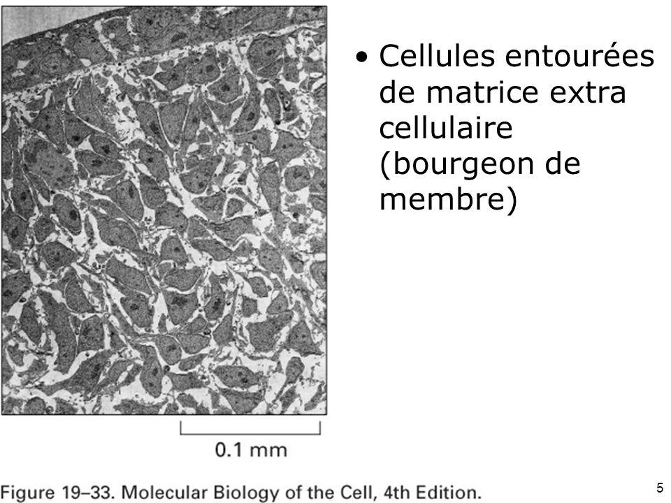 Mardi 12 février 2008 Cellules entourées de matrice extra cellulaire (bourgeon de membre) Fig 19-33.