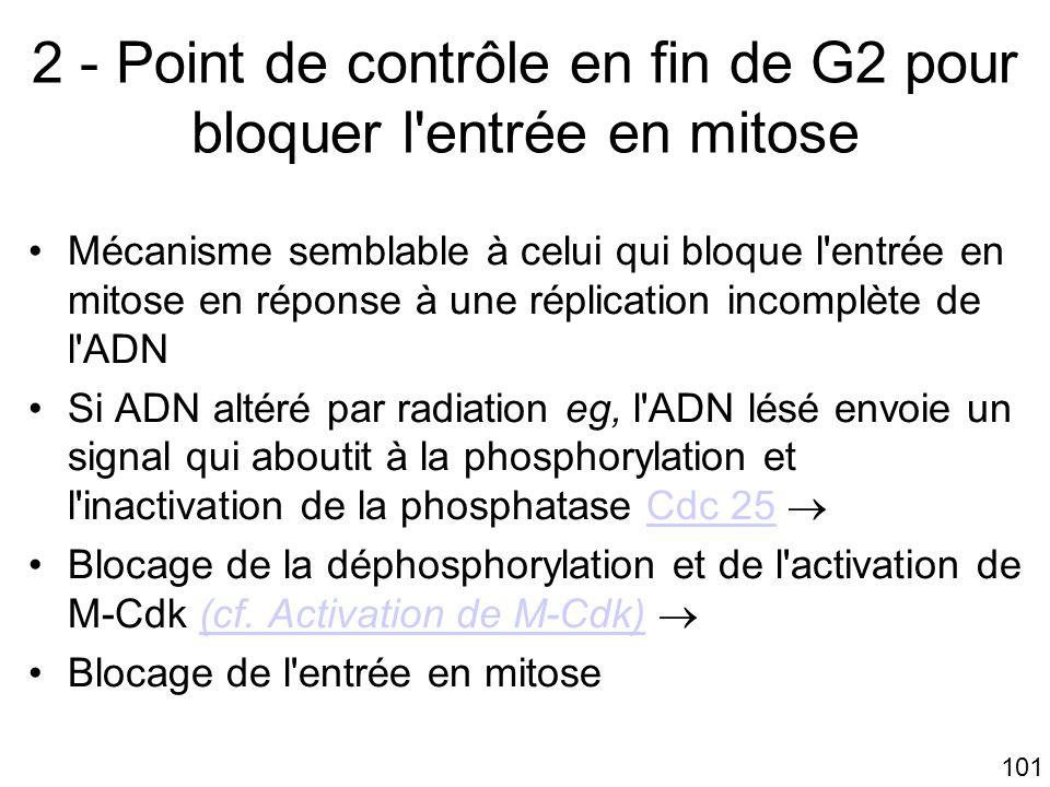 2 - Point de contrôle en fin de G2 pour bloquer l entrée en mitose