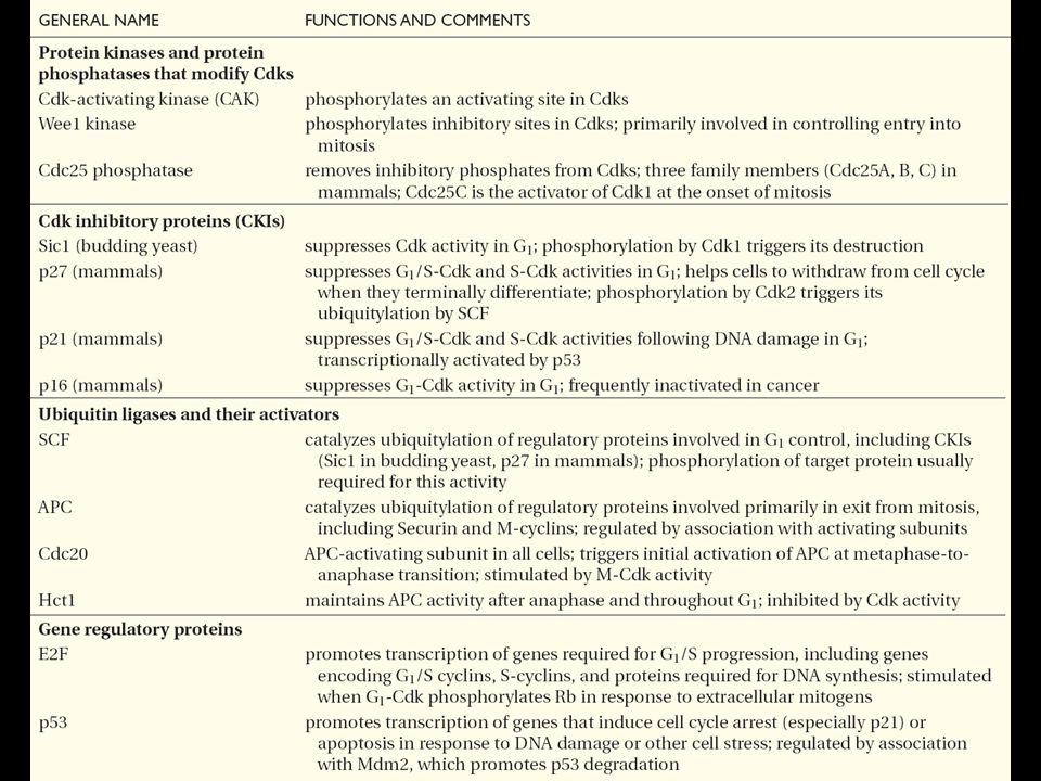 Tableau résumant les principales protéines régulatrices du cycle cellulaire