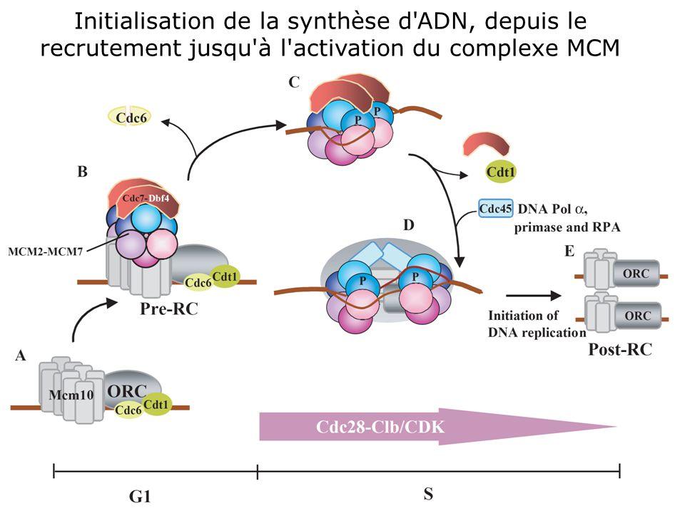 Initialisation de la synthèse d ADN, depuis le recrutement jusqu à l activation du complexe MCM